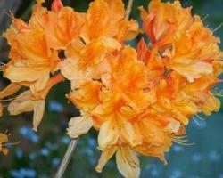 Азалия Speks Orange