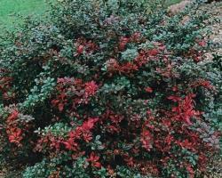 Барбарис средний Red Jewel
