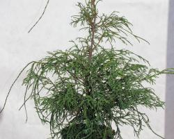 Кипарисовик горохоплодный Filifera