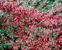 Кизильник гибридный Coral Beauty