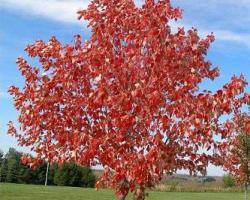 Клен красный Red Sanset