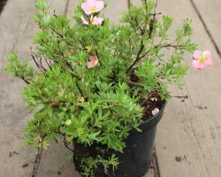 Лапчатка кустарниковая Lovely Pink PBR
