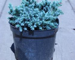 Можжевельник чешуйчатый Blue Star