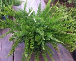 Можжевельник казацкий Tamariscifolia Pa