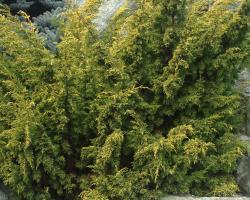 Можжевельник китайский Plumosa Aurea Pa