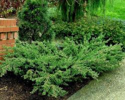 Можжевельник обыкновенный Green Carpet Pa