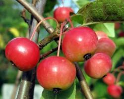 Яблоня Ola