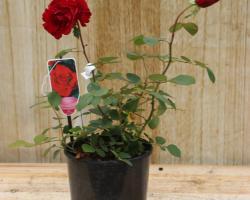 Роза чайногибридная