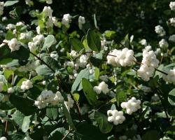 Снежноягодник Доренбоза White Hedge