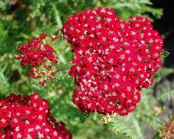 Тысячелистник обыкновенный Desert Eve-Red