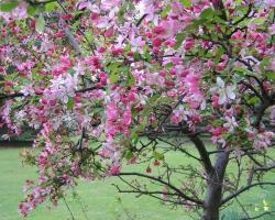Яблоня Floribunda