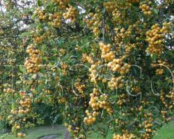 Яблоня Golden Hornet